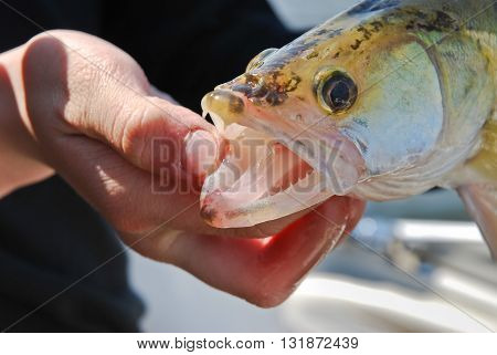 Pike-perch with open mouth in the hands of the fisherman