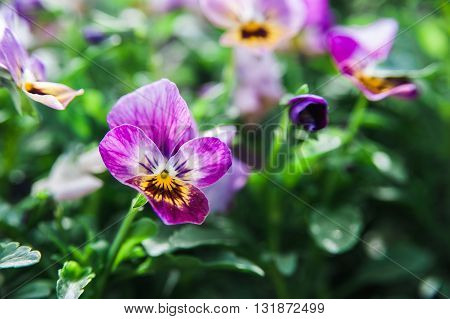 a Single flower of violet on a background of other colors. Macro shooting