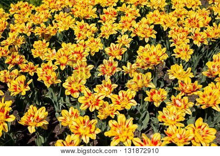 Colorful blossing yellow tulips in public park
