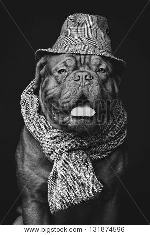 Beautiful dogue dog in hat and scarf. Over black backgroound. Copy space.