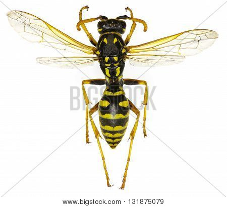 The European Paper Wasp on white Background  -  Polistes dominula (Christ, 1791)