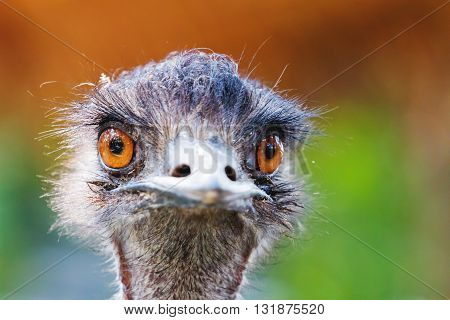 Close portrait of ostrich. Funny bird with long neck and small head. Thailand.