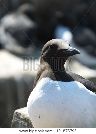 Close up view of a Guillemot on an island off the Northumberland coast