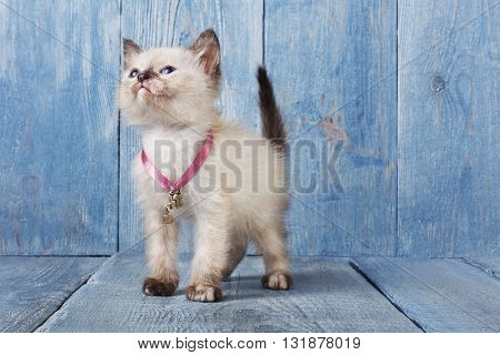 White siamese kitten with white chest. White cute kitten. Sweet adorable kitten on a serenity blue wood background. Small cat. Funny kitten with copyspace