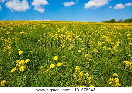 Field with yellow  flower dandelions to the horizon. Rural views to the flower meadow and the blue sky. Pastoral panorama of nature summer. Undulating terrain. Beautiful landscape of a Sunny day.