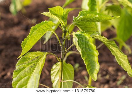 Green Young Plant Paprika (Capsicum Peppers) in Greenhouse