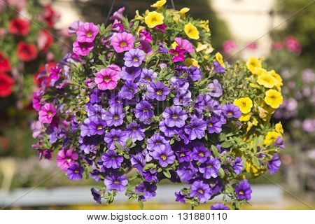 Hanging basket with colorful Petunias on defocused background