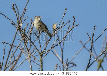 A lesser whitethroat is sitting on a branch