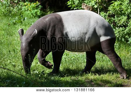 Malayan tapir (Tapirus indicus), also called the Asian tapir. Wildlife animal.
