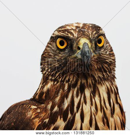 Hawk Eagle. This photo was taken in Jade Dragon Snow mountain.