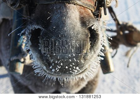 Horse nose. This photo was taken in Beiji Village, the most northernly village in China, with a temperature of -40 degrees.