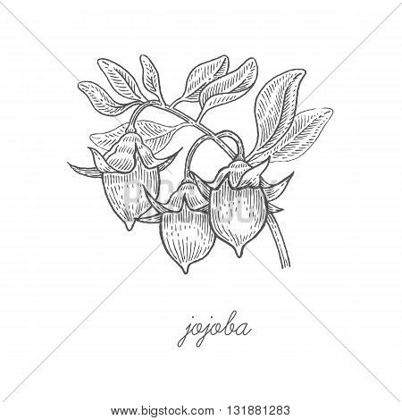 Jojoba. Vector plant isolated on white background. The concept graphic images of medicinal plants herbs flowers fruits roots. Can used for packaging of natural products health and beauty.