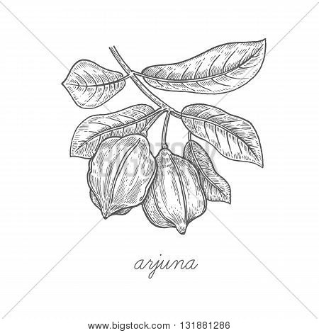 Arjuna. Vector plant isolated on white background. The concept of graphic image of medical plants/herbs/flowers/fruits/roots. Designed to create package of health and beauty natural products.