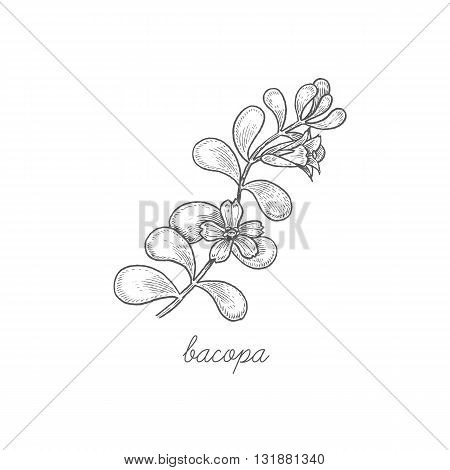 Bacopa. Vector plant isolated on white background. The concept graphic images of medicinal plants herbs flowers fruits roots. Can used for packaging of natural products health and beauty.
