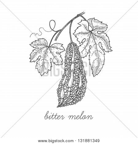 Bitter melon. Vector plant isolated on white background. The concept graphic images of medicinal plants, herbs, flowers, fruits, roots. Can used for packaging of natural products health and beauty.