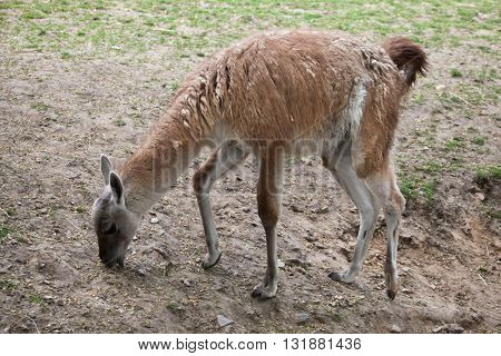 Guanaco (Lama guanicoe), also known as the Guanaco llama. Wildlife animal.