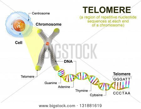 A telomere is a repeating sequence of double-stranded DNA located at the ends of chromosomes. Each time a cell divides the telomeres become shorter. Eventually the telomeres become so short that the cell can no longer divide.