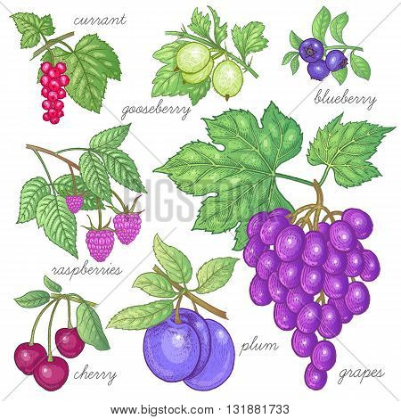 Red currants gooseberries blueberries raspberries grapes cherries plums. Vector illustration of different fruits and berries isolated on a white background. Set of objects of nature.