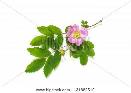 The branch of flowering pink dog-rose on a white background