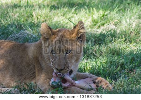 African Lion cub resting and eating a midday meal