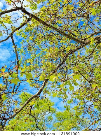 Green leaves against blue sky with white clouds in springtime.