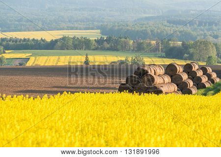 Hay Bales And Colza Field