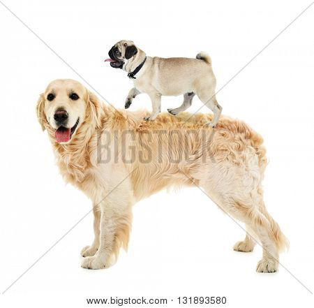 Pug dog riding on golden retriever's back, isolated on white