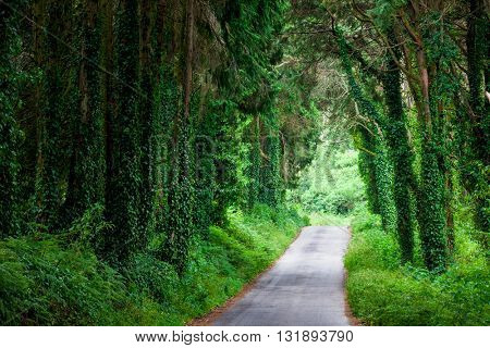 Road in magic dark forest, big trees with ivy lianas, Portugal, Europe