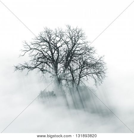 Lone Tree silhouette in foggy morning, black and white conceptual image