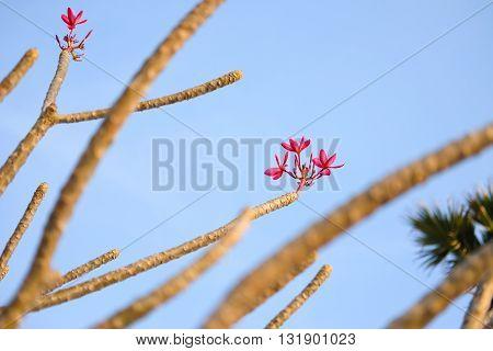 shot for frangipani flowers on sky background
