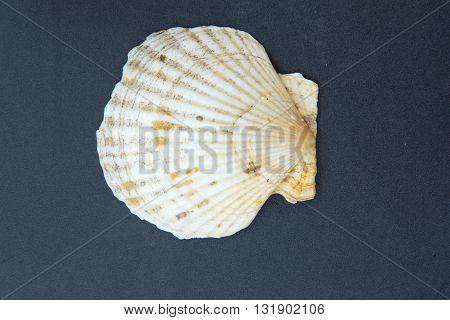 scallops shell (See Pectinidae) on black table