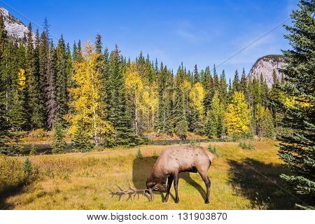 Red deer with branched antlers grazing in a mountain valley park Banff. Autumn day in the Canadian Rockies