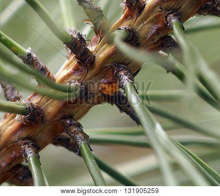 Ladybug eggs on an Austrian Pine tree