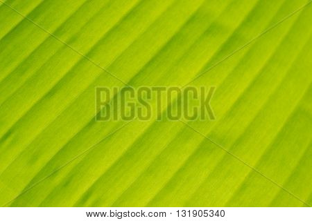 Closeup of Green banana leaf texture background abstract