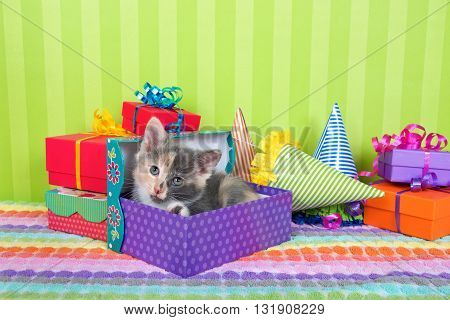 two month old calico tabby kitten peeking out of birthday present in a pile of brightly colored boxes with party hats bright green stripped background with space for copy above