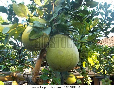 Pomelo fruits or grapefruit hanging on the pomelo plants on the pomelo garden