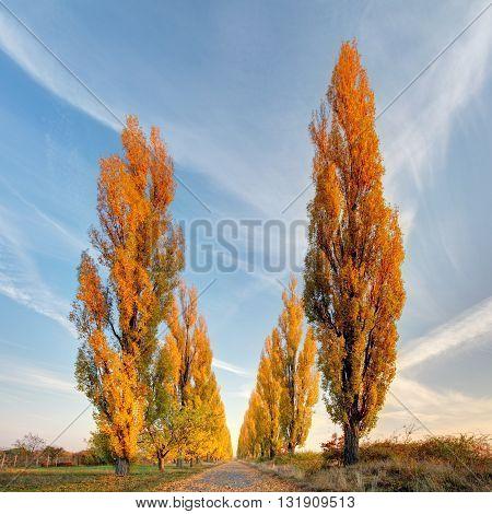 Poplar tree at a autumn at sunset