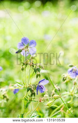 Flax flowers close up on the field.  Note: Shallow depth of field