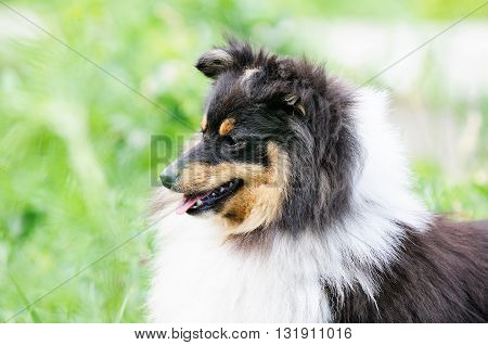 Shetland sheepdog (Sheltie) portrait over blurry green background