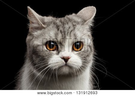 Closeup Portrait of Gray Scottish Straight Cat Looks Pained Isolated on Black Background