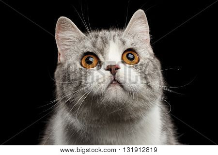 Closeup Portrait of Gray Scottish Straight Cat Looking up Isolated on Black Background