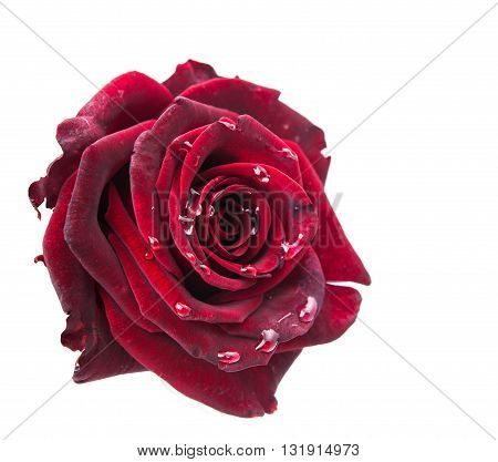 dark red rose on a white background