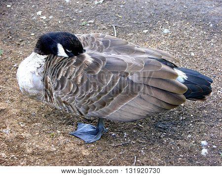 Branta canadensis. Canada goose. Canada Goose (Branta Canadensis) strolling in the park