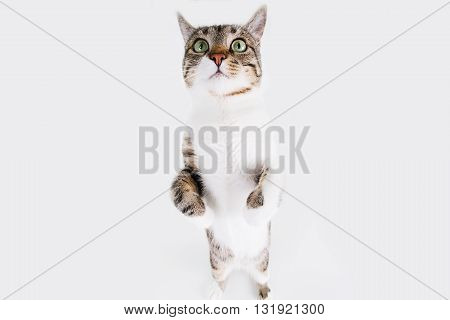 Surprised clouse up of a playful Cat sitting on two legs and looking to camera isolated on white background.