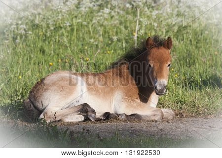 a young foal laying in the grass