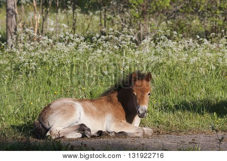 a small foal of the swedish breed gotland pony