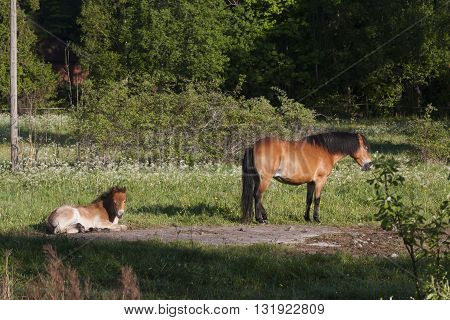 mare and foal of the swedish breed gotland pony