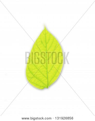 The green leaves isolated on white background
