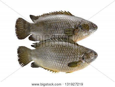 common climbing perch fish or Koi fish on white background