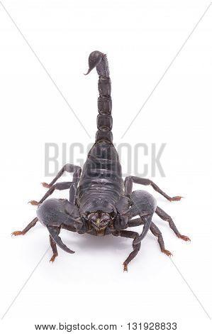 Heterometrus Longimanus Back Scorpion.emperor Scorpion, Pandinus Imperator.scorpion Isolate On White